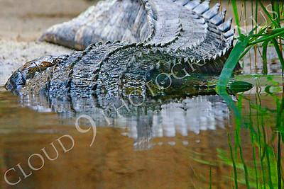 Alligator 00006 by Peter J Mancus