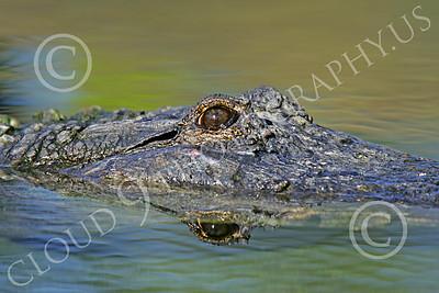 Alligator 00022 Close up of a floating alligator's eye, by Peter J Mancus