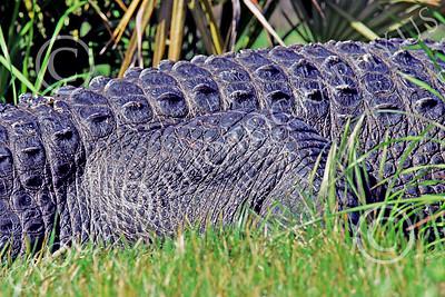 Alligator 00016 Close up of a large alligator's hide, by Peter J Mancus