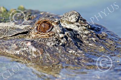 Alligator 00009 Close up of a floating alligator's eye, by Peter J Mancus