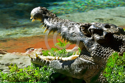 American Alligator 00002 Side profile of the head of a sunbathing American alligator with opened jaws wildlife picture by Peter J  Mancus tif