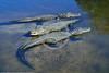 American Alligator 00011 Three medium size American alligators sunbathe in shallow water wildlife picture by Peter J  Mancus