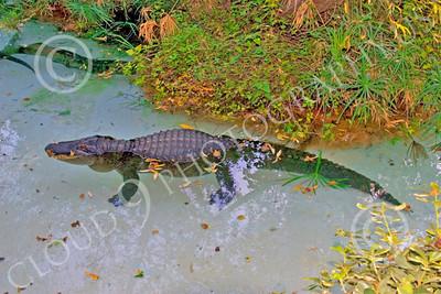 Alligator 00017 A floating juvenile alligator, by Peter J Mancus