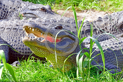 American Alligator 00007 A medium size American alligator sunbathes on long green grass wildlife picture by Peter J  Mancus