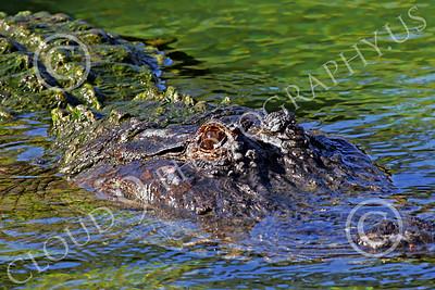 Alligator 00015 A floating alligator, by Peter J Mancus