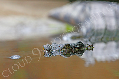 Alligator 00004 by Peter J Mancus