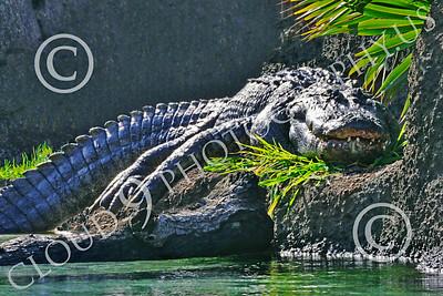 Alligator 00003 A large alligator at rest, by Peter J Mancus
