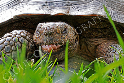 California Desert Tortise 00003 A California desert tortise with its tongue partially exposed, by Peter J Mancus
