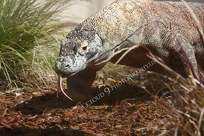 Komodo Dragon 00006 by Peter J Mancus