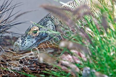 Komodo Dragon 00003 by Peter J Mancus