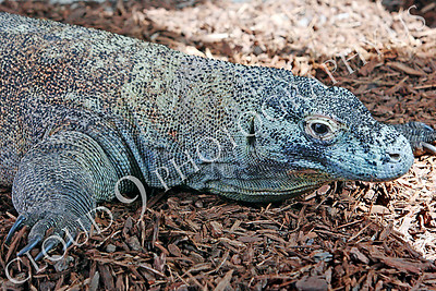Komodo Dragon 00002 by Peter J Mancus