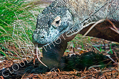Komodo Dragon 00023 by Peter J Mancus