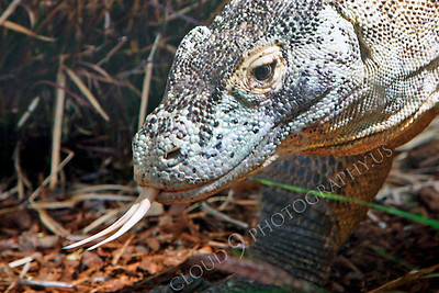 Komodo Dragon 00026 by Peter J Mancus