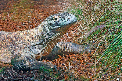 Komodo Dragon 00008 by Peter J Mancus