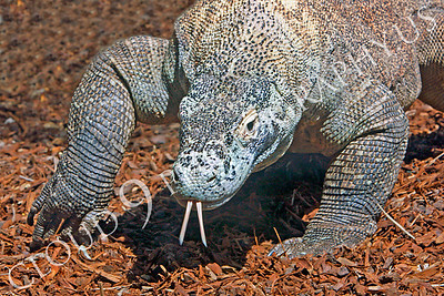 Komodo Dragon 00005 by Peter J Mancus