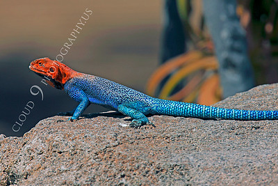 Red-headed Rock Agama 00007 by Peter J Mancus
