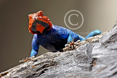 Red-headed Rock Agama 00004 by Peter J Mancus
