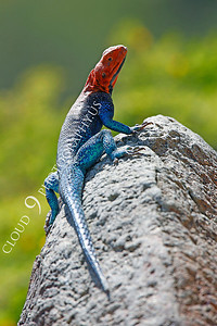 Red-headed Rock Agama 00013 by Peter J Mancus