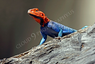 Red-headed Rock Agama 00009 by Peter J Mancus