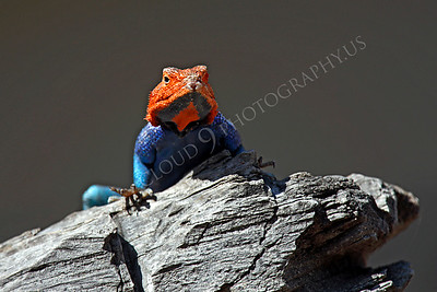 Red-headed Rock Agama 00012 by Peter J Mancus