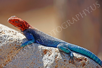 Red-headed Rock Agama 00010 by Peter J Mancus