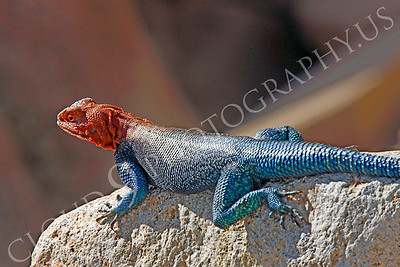 Red-headed Rock Agama 00011 by Peter J Mancus