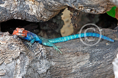 Red-headed Rock Agama 00002 by Peter J Mancus