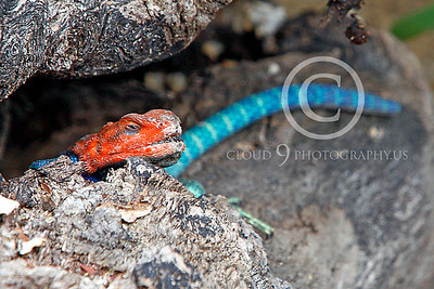 Red-headed Rock Agama 00036 by Peter J Mancus
