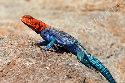 Red-headed Rock Agama 00006 by Peter J Mancus