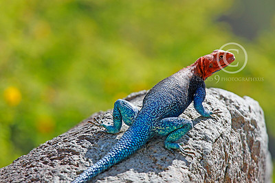 Red-headed Rock Agama 00034 by Peter J Mancus