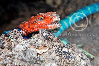 Red-headed Rock Agama 00003 by Peter J Mancus