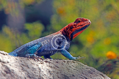 Red-headed Rock Agama 00005 by Peter J Mancus