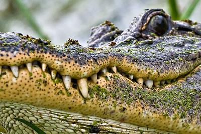Gator smile - Brazos Bend State Park, Texas
