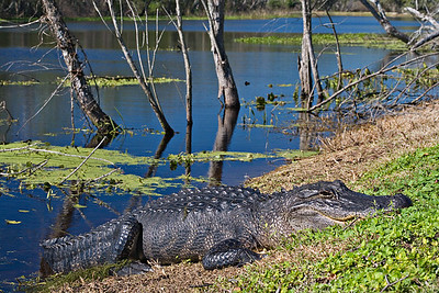 American Alligator - Brazos Bend State Park, Texas