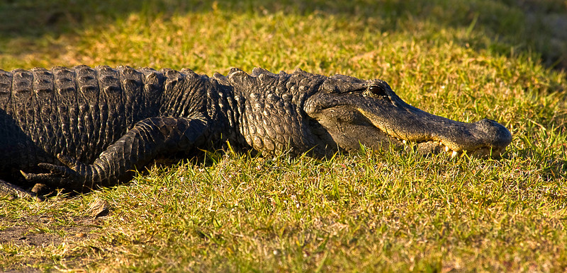 Even though they don't move much; when motivated, alligators can lunge most of their body length in an instant and sprint -- briefly -- up to ten miles an hour. A sundown shot at Green Cay Wetlands, Palm Beach County