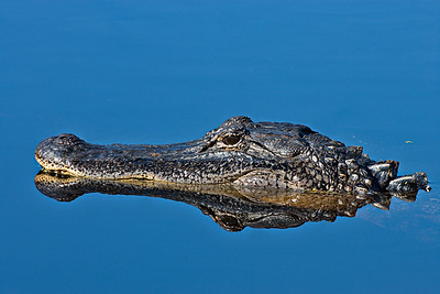 American Alligator -  Reflection - Brazos Bend State Park, Texas