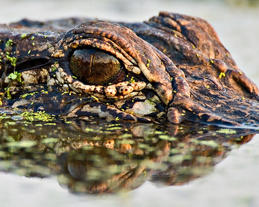 American Alligator - Evening Reflection - Brazos Bend State Park, Texas
