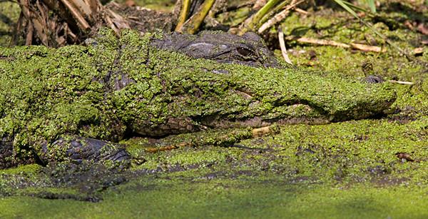 Alligator - Duckweed Camoflauge - Brazos Bend State Park, Texas