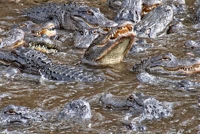Alligator Nightmare