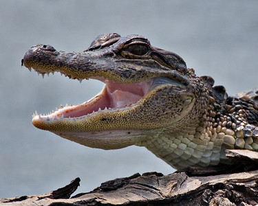 "American Alligator - Juvenile - ""Smiles"" - Brazos Bend State Park, Texas"