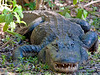 All right. I know I go on about how the alligators are not real dangerous if you're not a poodle, or dangling your feet in the canal or reaching for your Titleist in a water hazard.<br /> <br /> But an incautious, chance encounter can put one in harm's way -- defined as being within one body length of a non-somnolent specimen with its mouth open.<br /> <br /> As I saw happen near here on the Fakahatchee Strand in Big Cypress when a guide was concentrating on showing the ladies on a swamp walk where the orchids were and did not notice (as I had) that we had walked into a 'gator hole...<br /> <br /> As the EXIF data will reveal, I had a good tele lens when I met this fellow, but a prudent person might not hunker down -- collapsing his apparent size to near-poodle dimensions -- to take a picture.