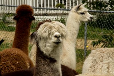 Alpaca Sheering 06-22-2014-4