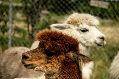 Alpaca Sheering 06-22-2014-24