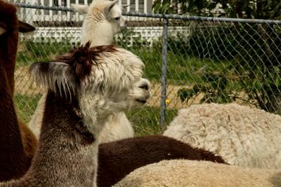 Alpaca Sheering 06-22-2014-3
