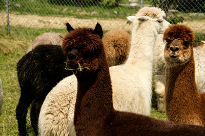 Alpaca Sheering 06-22-2014-19