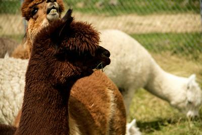Alpaca Sheering 06-22-2014-14