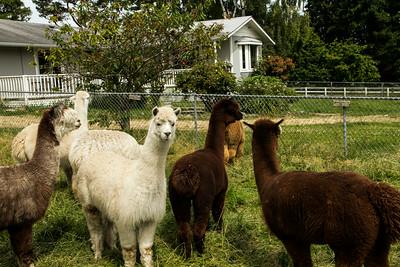 Alpaca Sheering 06-22-2014-2