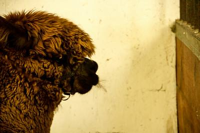 Alpaca Sheering 06-22-2014-13