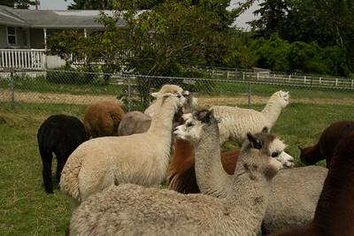 Alpaca Sheering 06-22-2014-22