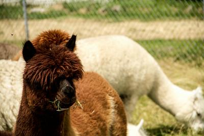 Alpaca Sheering 06-22-2014-15